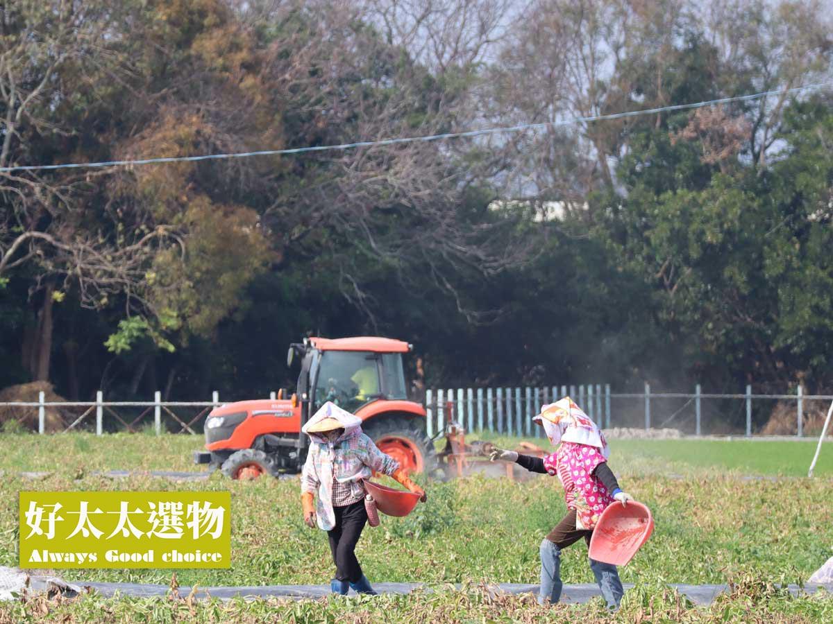 ▲年後正是馬鈴薯採收的季節,可以看到整個村子開始熱閙起來!