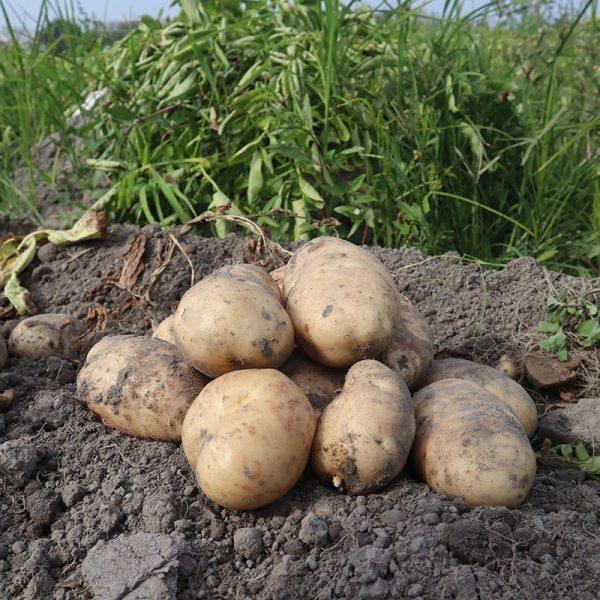 斗南馬鈴薯